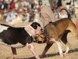 Dog fight show